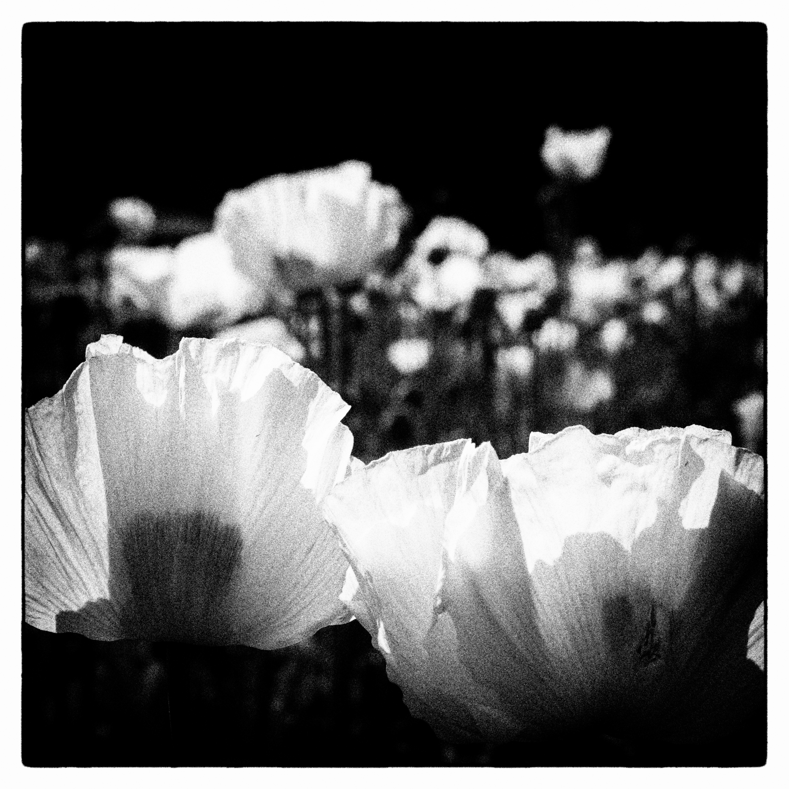Poppy field - erik0111   ello