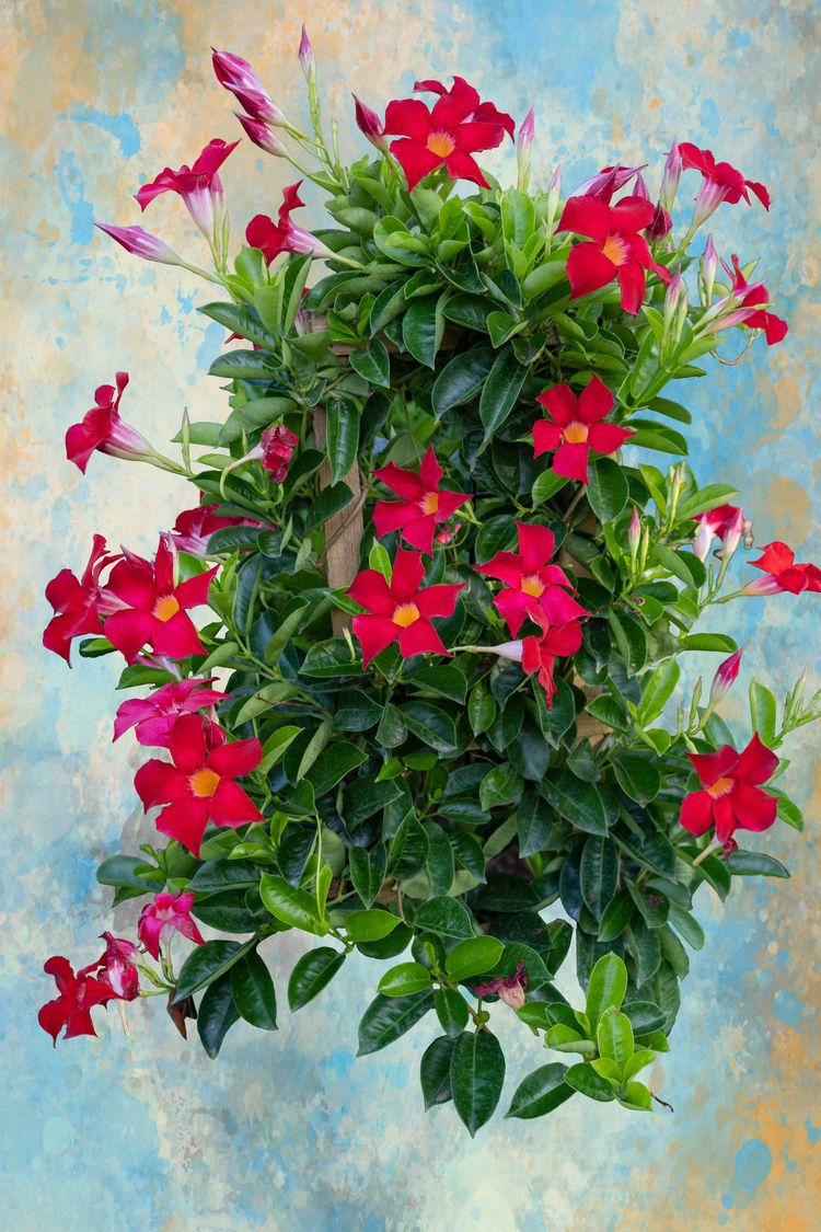 Dipladenia, Floral, Flowers, Texture - paulghellothere | ello