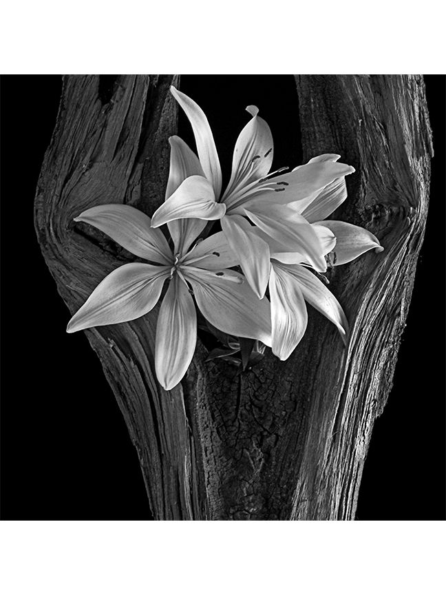 Lily Tree - von_mcknelly   ello