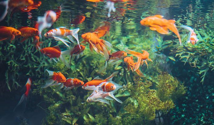 pet fish, organisms, oxygen bre - thaquaticeden   ello
