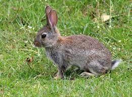 Find Rabbits ads Kalgoorlie. Bu - icracker0 | ello