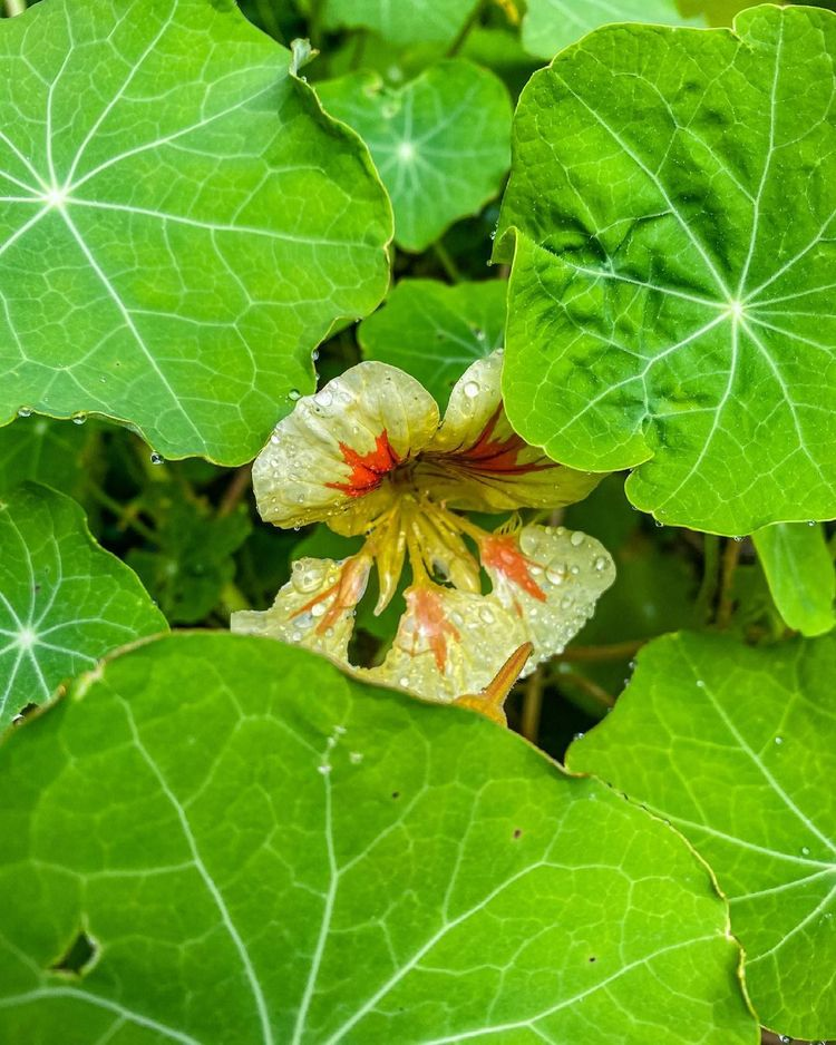Tropaeolum Taco de Reina - leaf - bemanhiking   ello