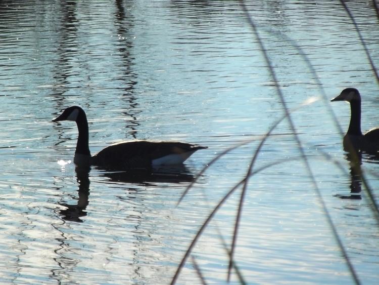 Swimming Canadian Geese by Rafael Carcamo-V.JPG