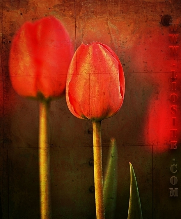 Sylvia-Plath-I-tulipani.jpg