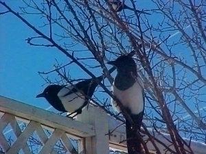 magpies_c.jpg