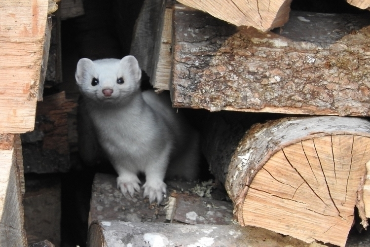 Critter in the woodpile.jpg