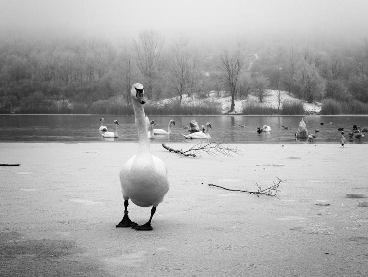 Swan Wienerberg bw-2.jpg
