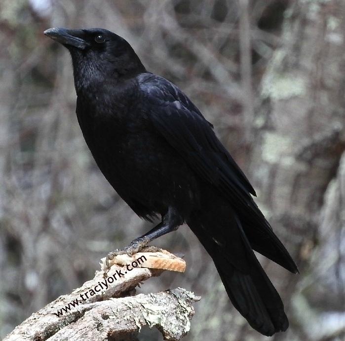 Crow breakfast, watermarked.jpg