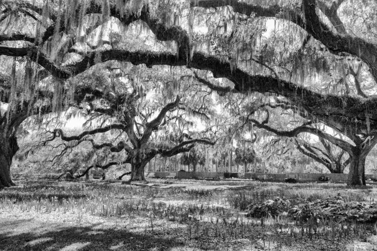 live-oak-bw-1920.jpg