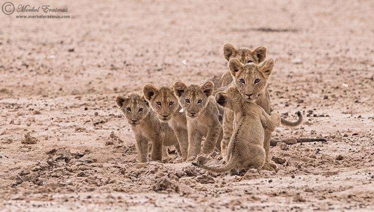 lion_cubs_5_ktp_2014_by_morkelerasmus-d9w8q2j.jpg