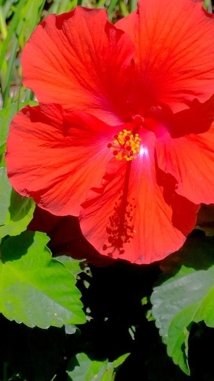 hibiscus glory 2.jpg