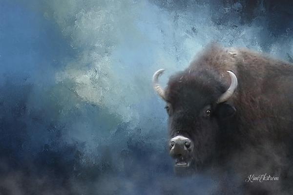 Buffalo Northwest Colorado - kimekstromphotography | ello