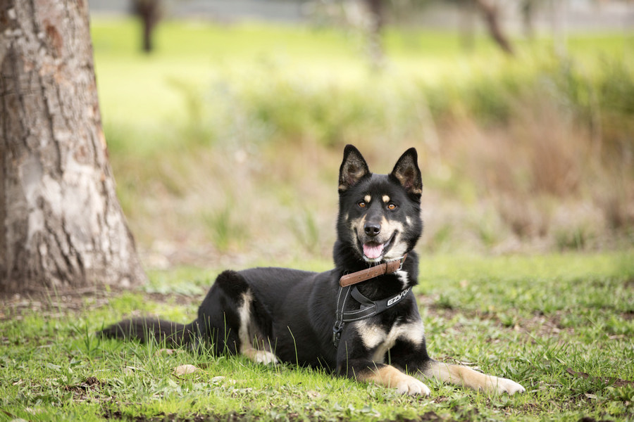 Adopt Chico - male german sheph - red_wolf | ello