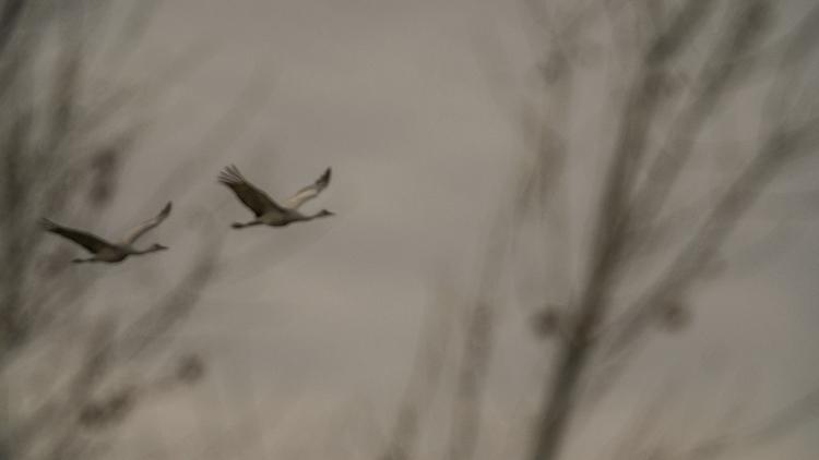 Flying Cranes. - tyephotoman | ello