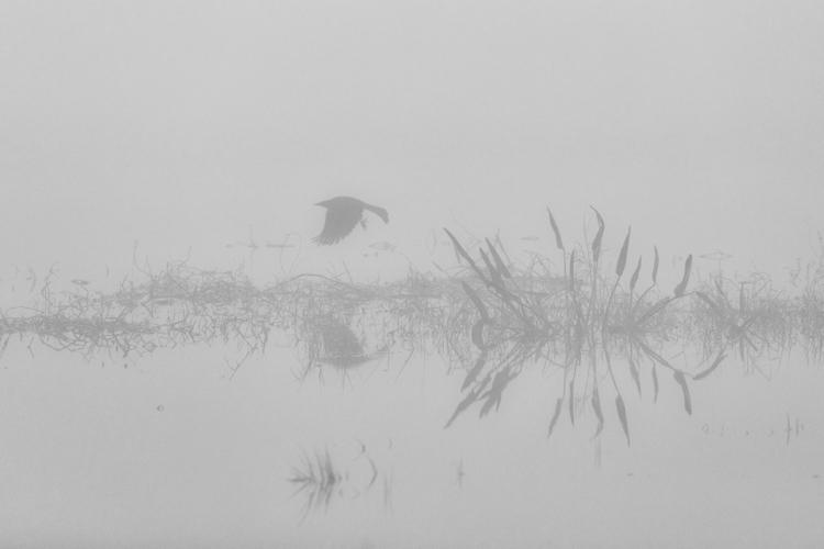 Grackle takes fog, Rattlesnake  - dabpix | ello
