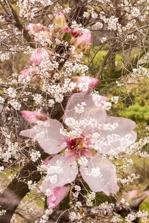 Almond flower double exposure a - phil_crean | ello