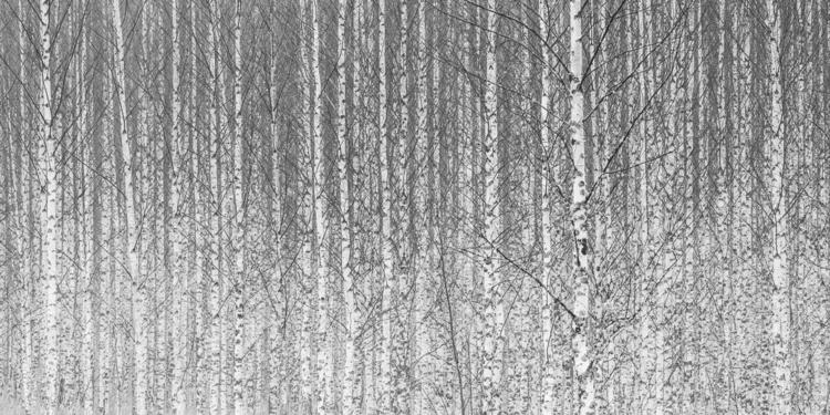 birch trees nature natureart ab - peter_skoglund | ello