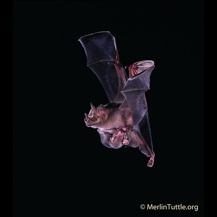 Jamaican Fruit-Eating Bat mothe - tuttledvd | ello