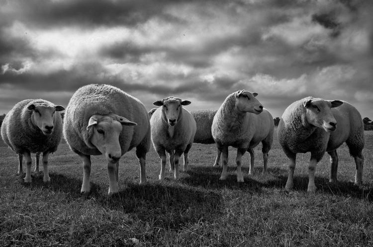 Moin! Sheeps East-Friesland - sheeps - markushartung   ello