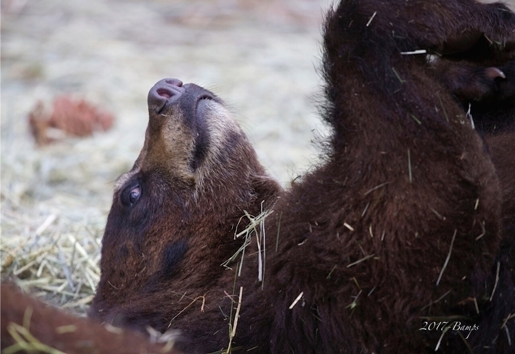 Wrestling Bear Cub Siblings  - bearizona - bamps | ello