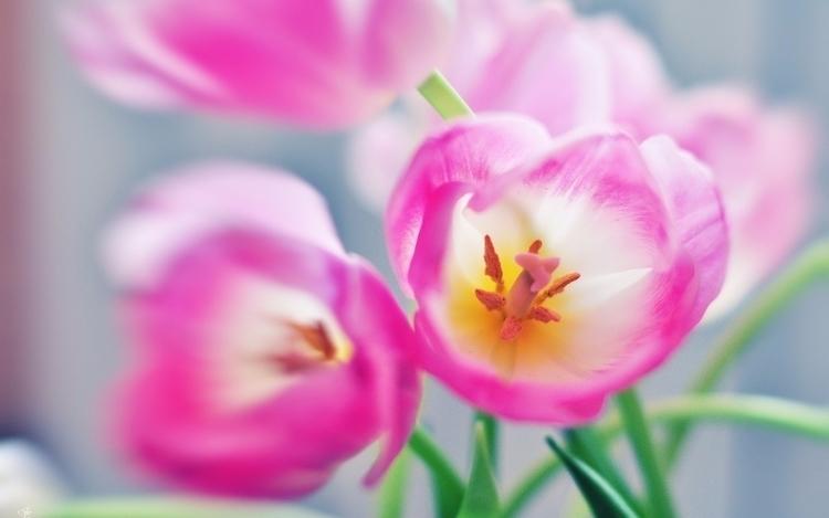 Daily Tulip Saturday 18th Febru - robert-mcangus   ello