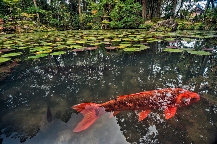 red carp beautiful Japanese zen - dschwabe | ello