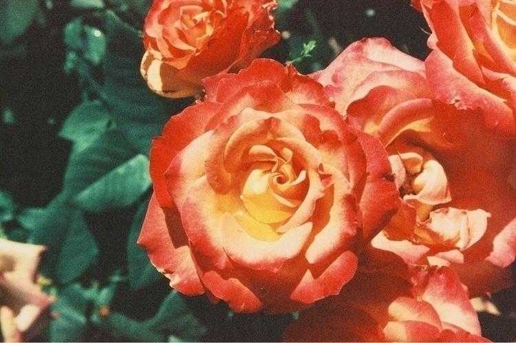 Roses Canon EOS Rebel 2000 Film - lightingbug1 | ello