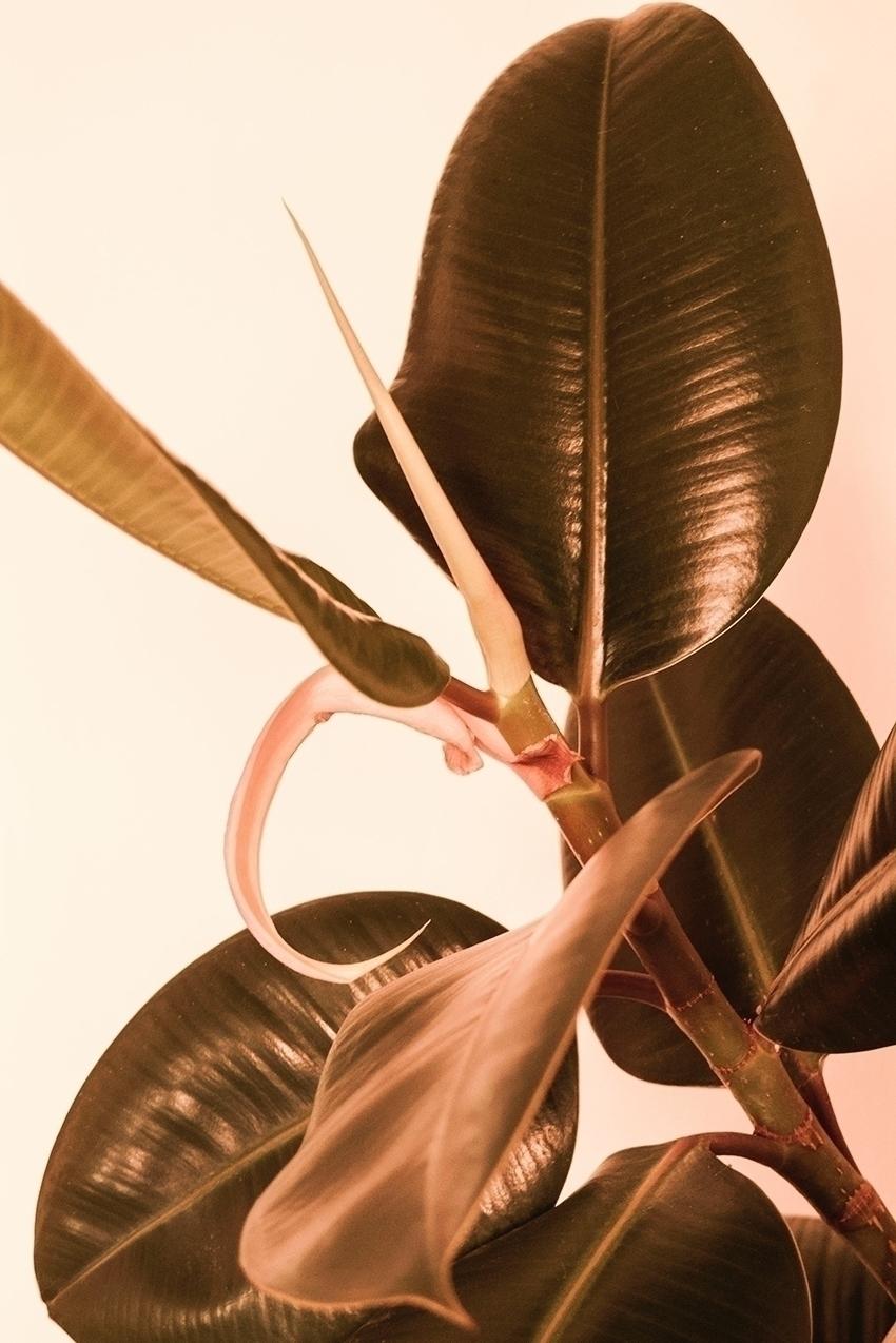 Casa Dante Ficus elastica // 20 - nitaboni | ello