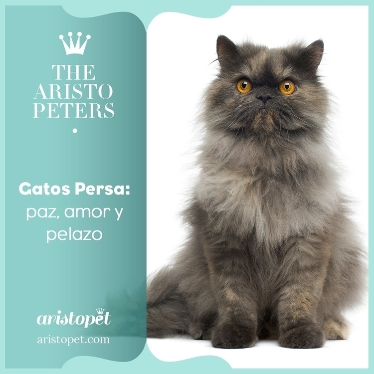 Los gatos persa son muy popular - aristopet | ello