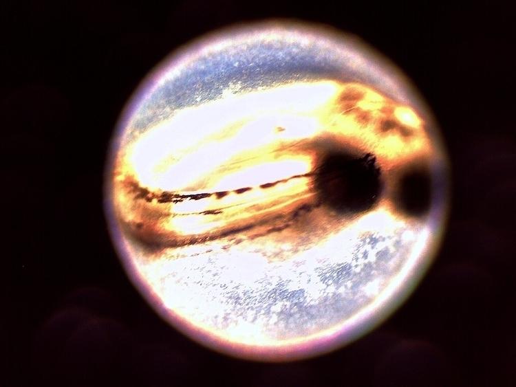 developing zebrafish rerio) emb - peterjacobmartin | ello