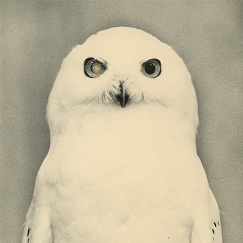 White owl / swooping flash whit - kashyapi   ello