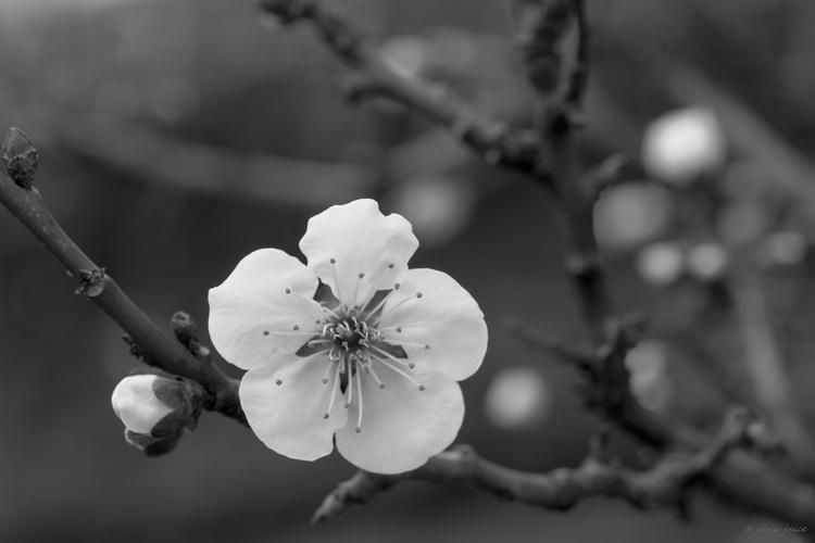 **Day moon Spring - Tokto, Japan - juria   ello