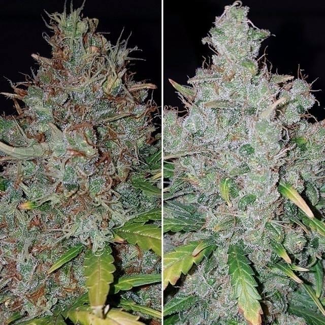 White Widow phenos Autoflowerin - cropkingseeds | ello