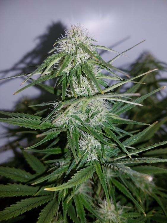 Cannabis Seeds Strain Northern  - cropkingseeds   ello