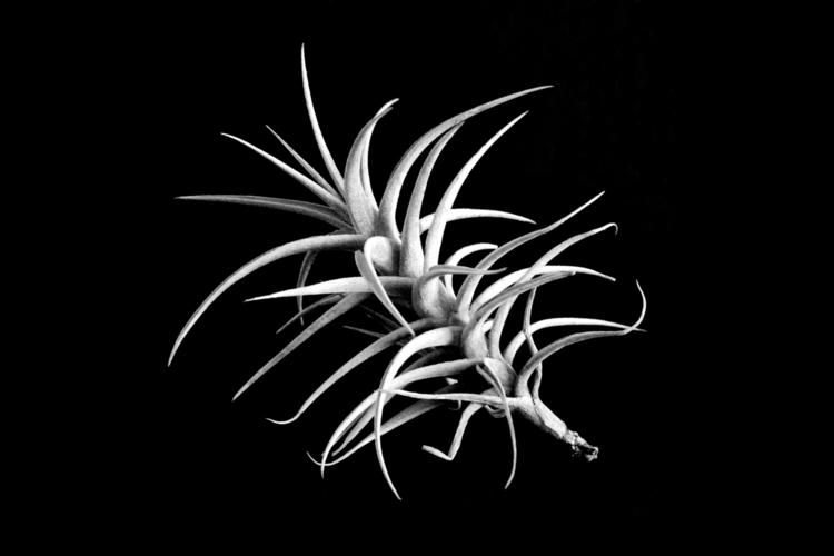 La botanique – Tillandsia albid - clotildeh | ello