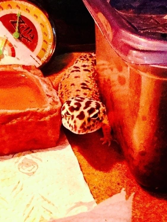 Watching gecko - lizards, photography - jdcurr17 | ello