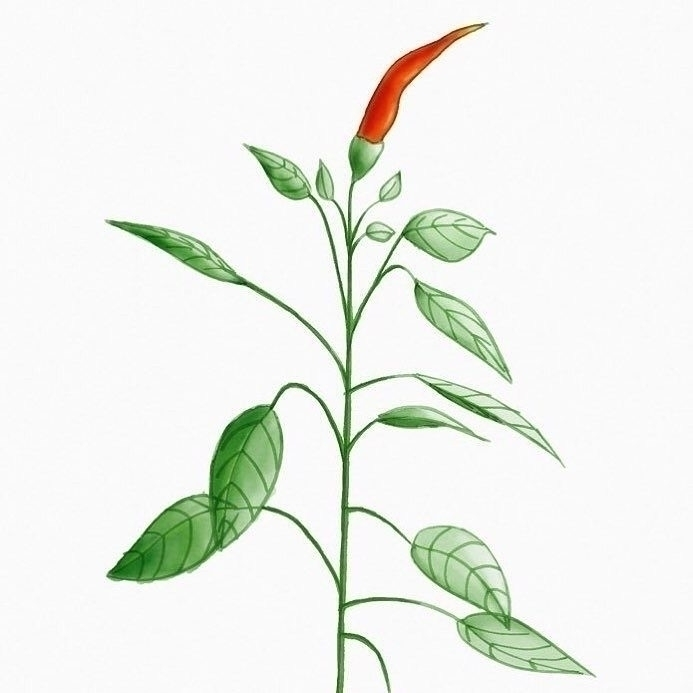 pepper plant - sketch, doodle, art - borianag | ello