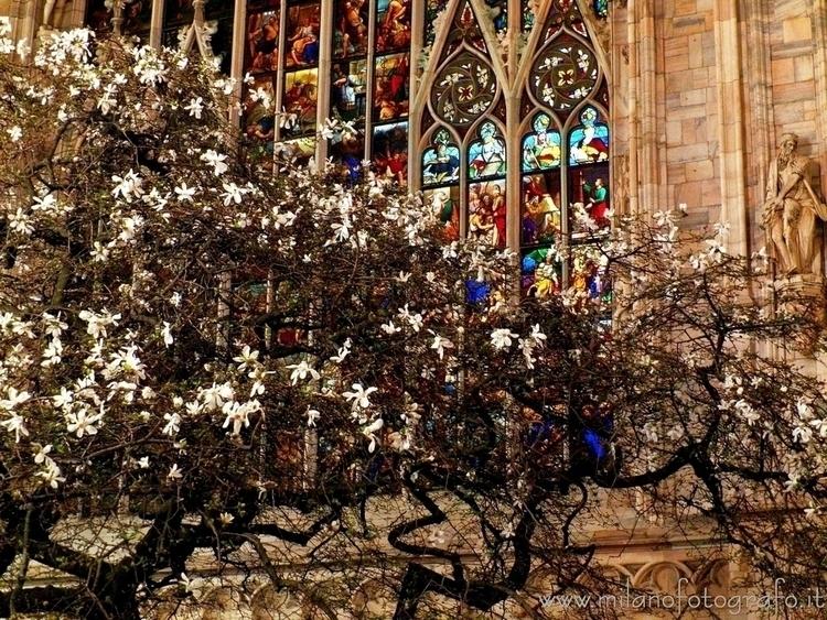 ( ): Flowering magnolia illumin - milanofotografo | ello
