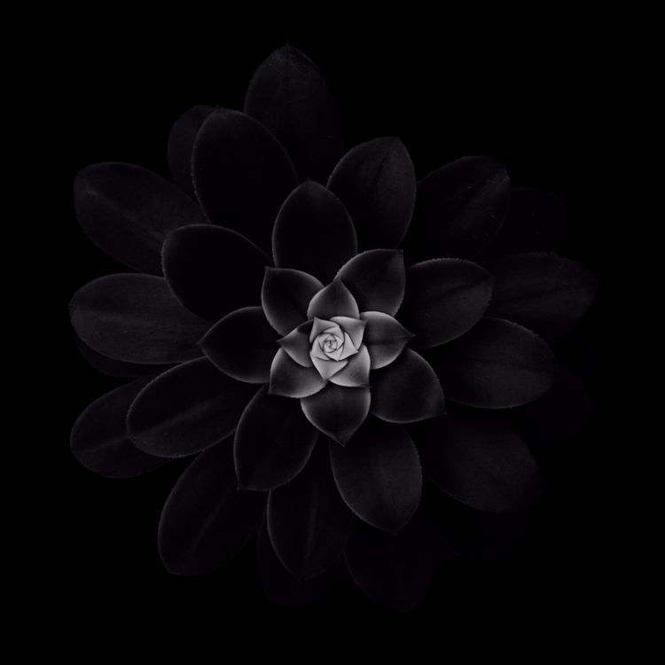 Succulent Series - 13, black,, blackandwhite, - chrishuddleston | ello