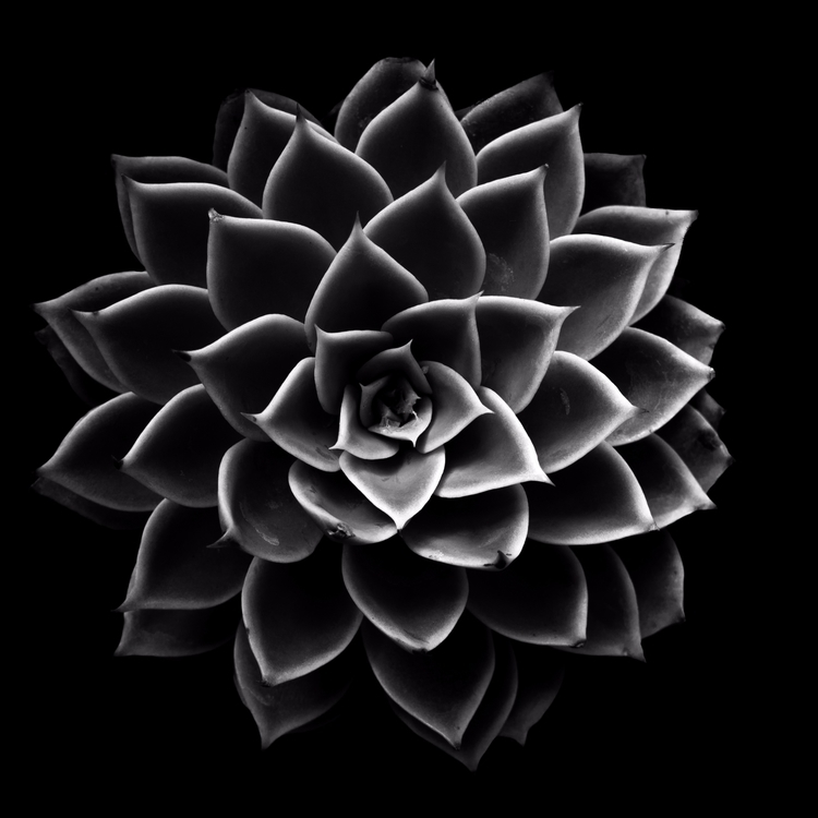 Succulent Series - 19, blackandwhite, - chrishuddleston | ello