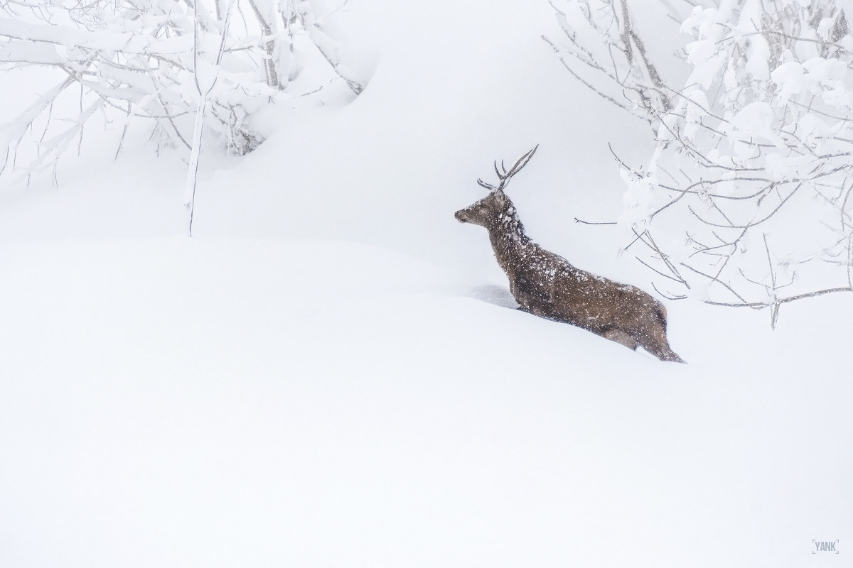 White Wild - wildlife, alps, snow - yank- | ello