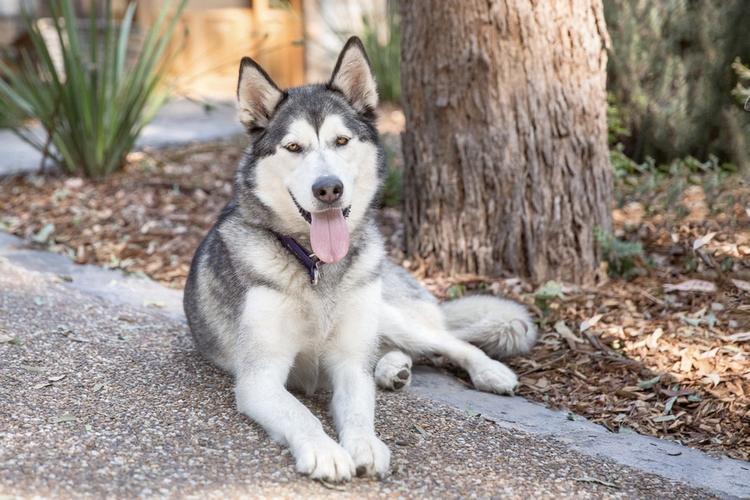 Adopt Gemma - female alaskan ma - red_wolf | ello