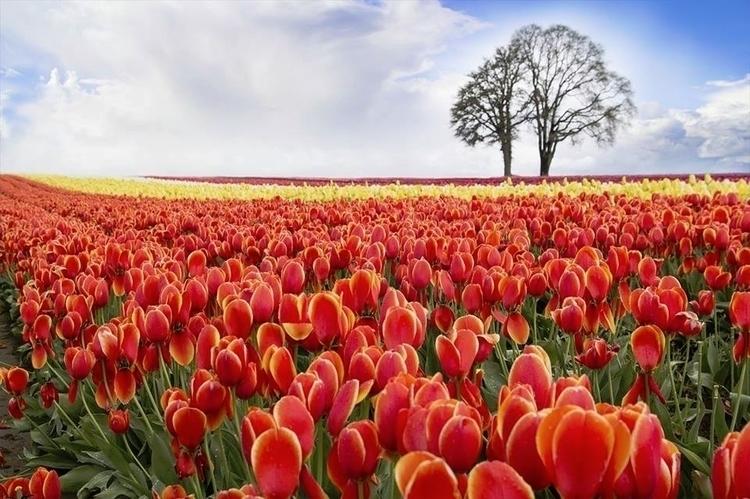Daily Tulip – International New - robert-mcangus | ello