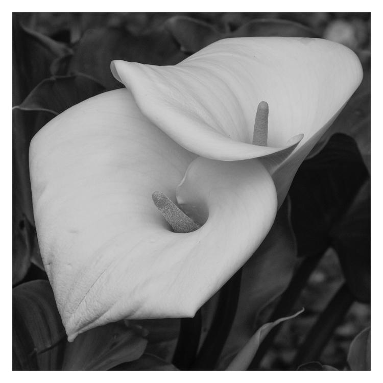 Callas Lilies - guillermoalvarez | ello