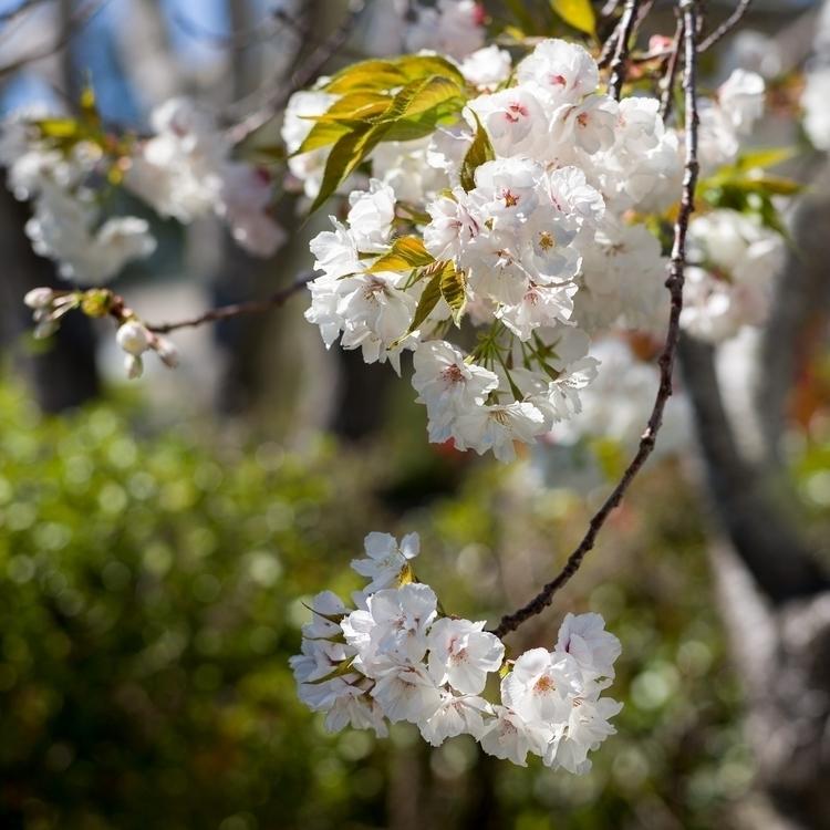 Cherry Blossom (2017) Spring sp - marchyman | ello