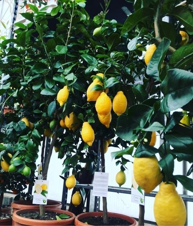 Op zoek naar citroenen voor een - bloomshoorn | ello