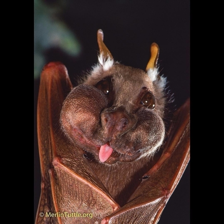 Epauletted Fruit Bat (Epomophor - tuttledvd | ello