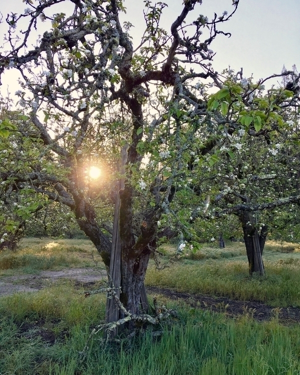 Early morning apple trees. Apto - slubdude | ello
