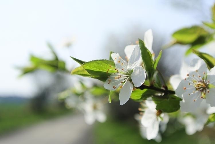 Spring, Plum, Blossom, Photography - martinkriz | ello