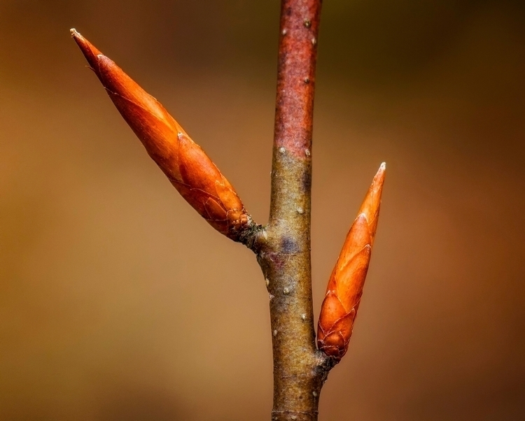 beech buds  - textures, macrophotography - docdenny | ello